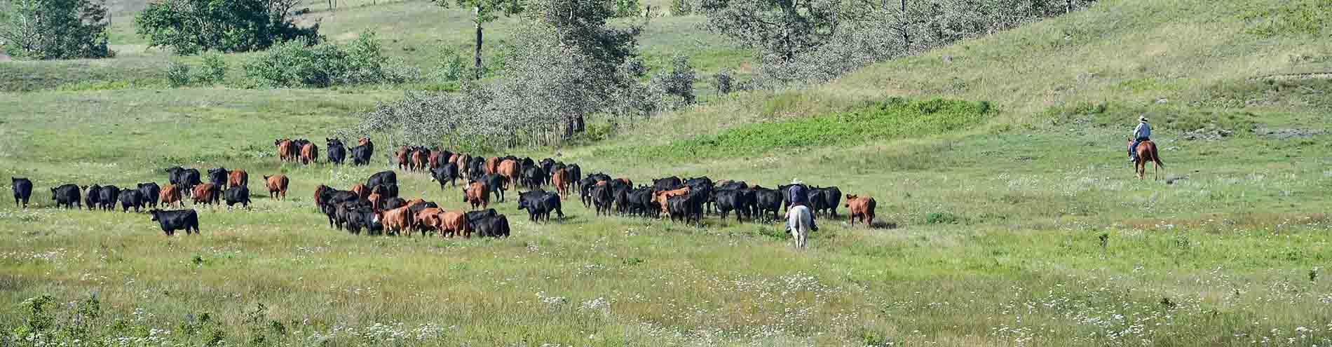 rancher-rider-cattle